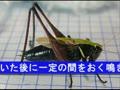 虫の声〜ヒメギス